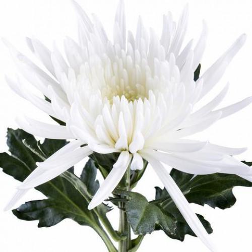 Хризантема одноголовая белая Анастасия