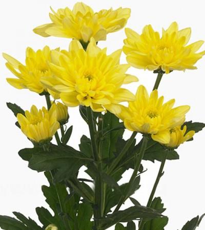Хризантема кустовая желтая Балтика