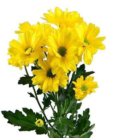 Хризантема кустовая желтая Ромашка