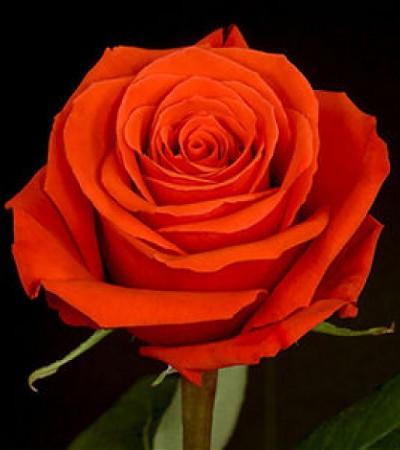Роза Star 2000