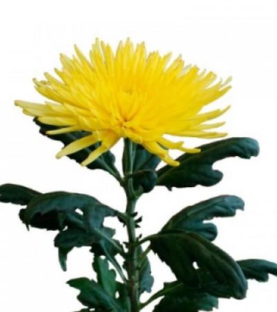 Хризантема одноголовая желтая Анастасия