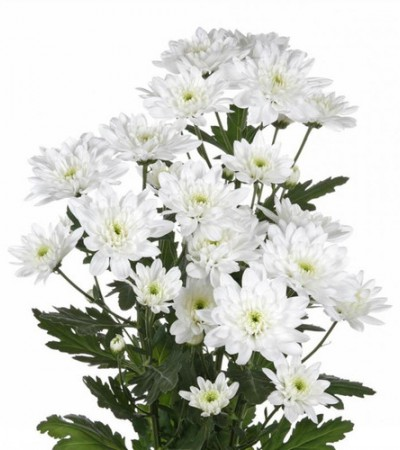 Хризантема кустовая белая Балтика