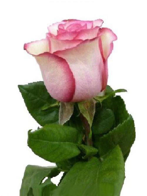 Гибридная чайная роза