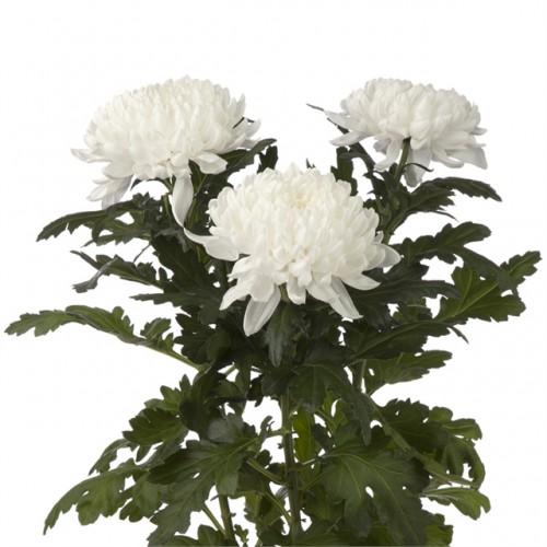 Хризантема одноголовая белая Магнум