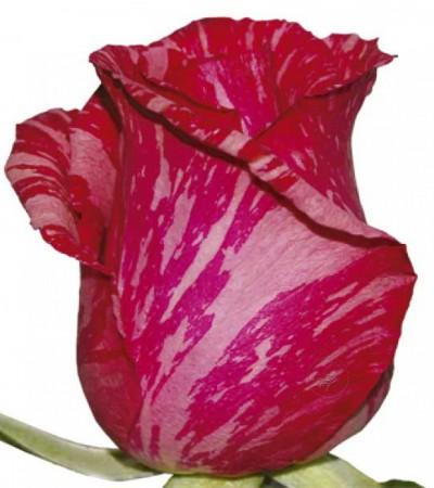 Необычная  мраморная роза