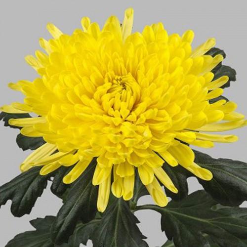 Хризантема одноголовая желтая Петр